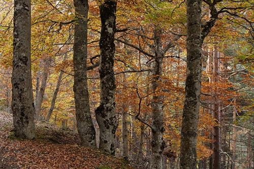 cebollera bosques